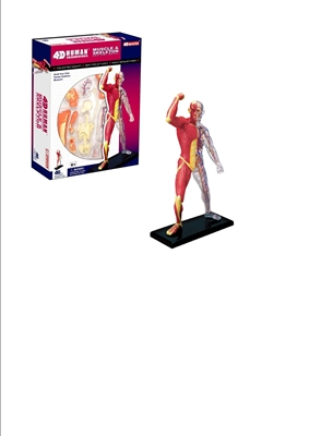 4D Vision Human Muscle & Skeleton Anatomy Model