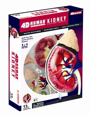 4D Vision Human Kidney Anatomy Model