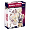 4D Vision Transparent Torso Human Anatomy Model