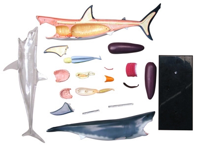 Shark anatomy model