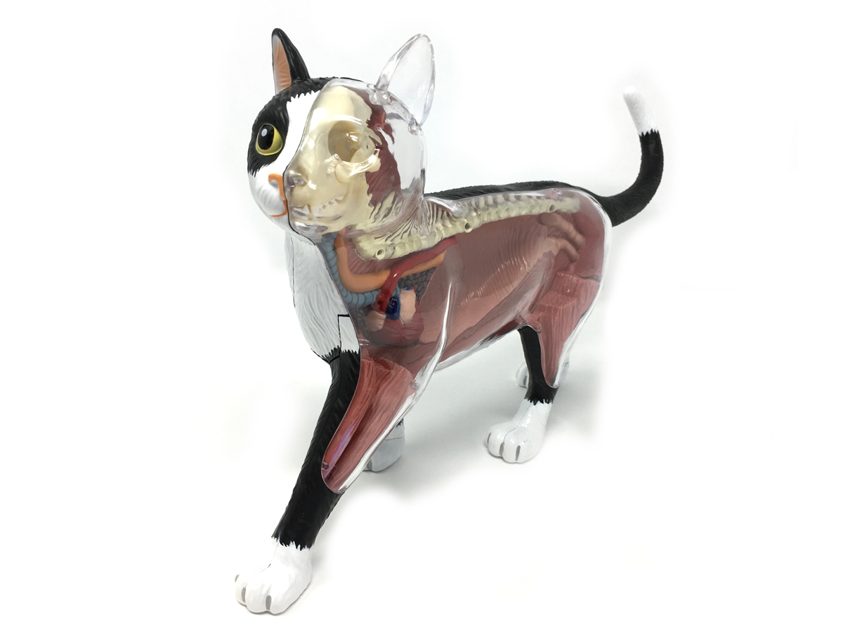 4D Vision Cat Anatomy Model