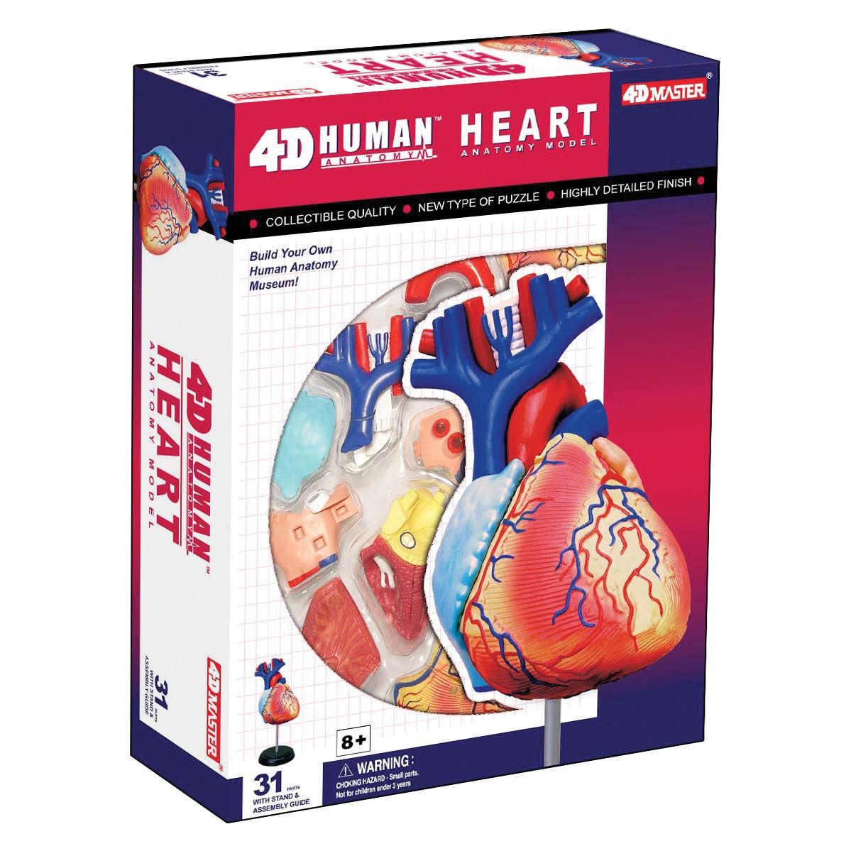 4d Vision Human Heart Anatomy Model
