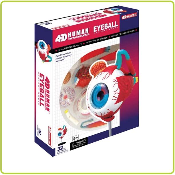 4D Human Eyeball Anatomy Model