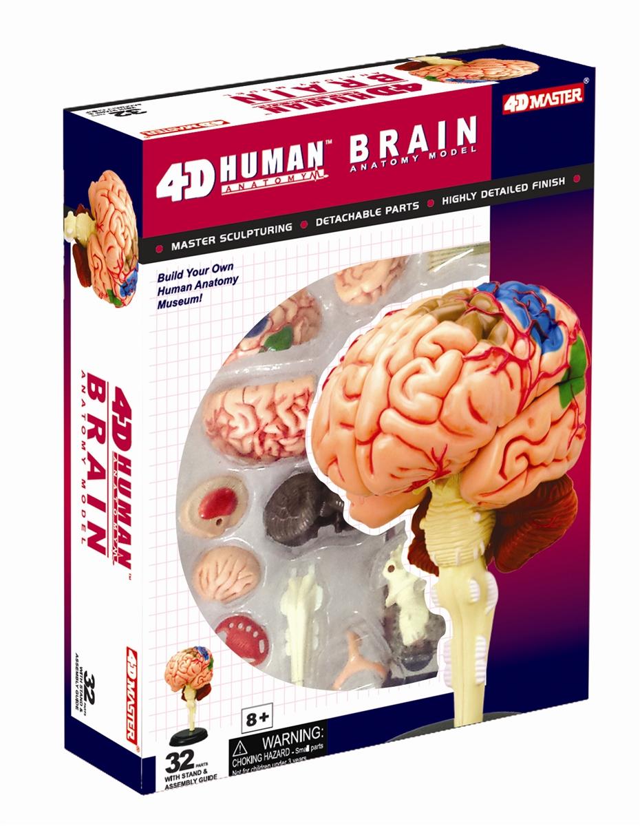 4d Vision Human Brain Anatomy