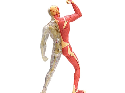 4d vision human muscle & skeleton anatomy model,