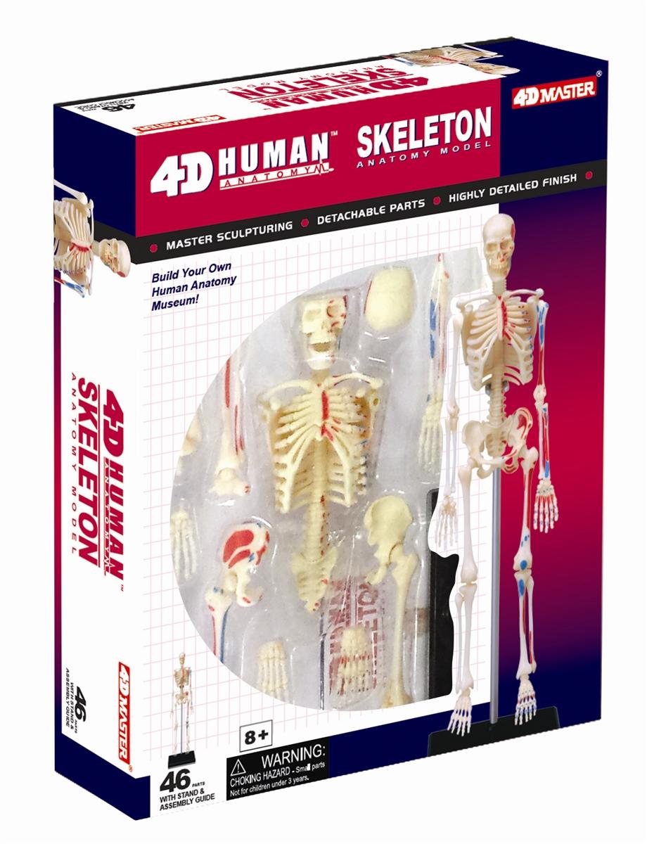 4D Vision Human Skeleton Anatomy Model