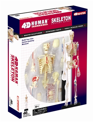 4D Vision Human Skeleton Anatomy Model