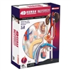4D Vision Human Male Reproductive Anatomy Model