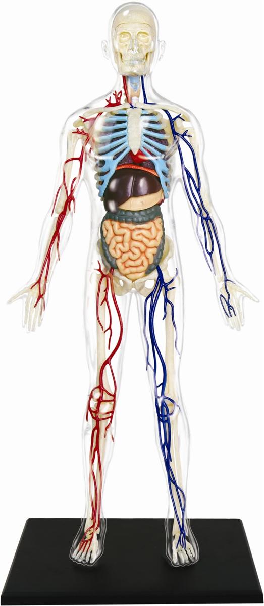 4d Vision 13 Transparent Human Anatomy Model