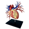 4D Vision Deluxe Human Heart Anatomy Model (Life-Size)