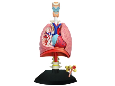 4D Vision Human Respiratory System Anatomy Model