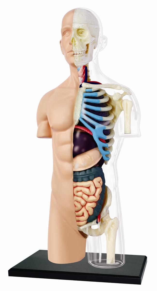 4D Vision Half Cleared Torso Anatomy Model