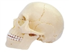 4D Vision Exploded Human Skull Anatomy Model