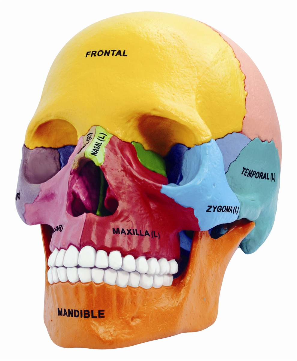 4d Vision Didactic Exploded Human Skull Anatomy Model