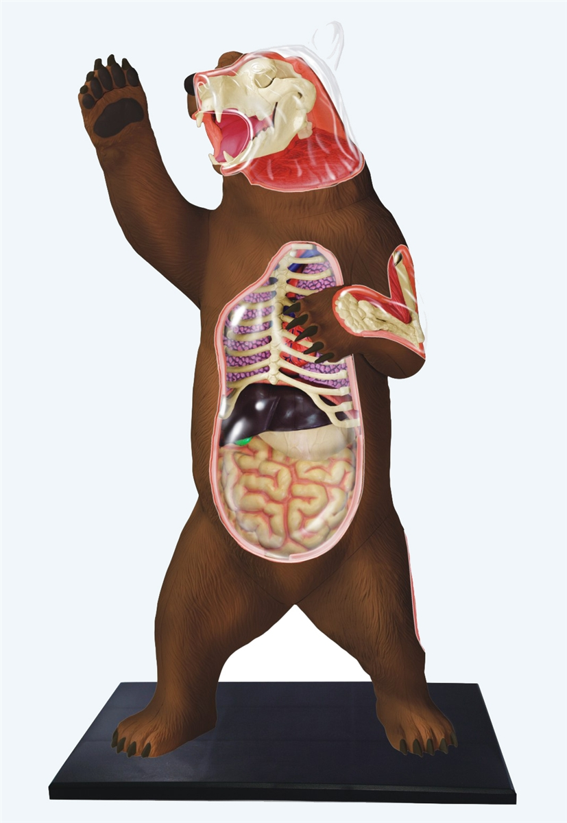 4D Vision Brown Bear Anatomy Model
